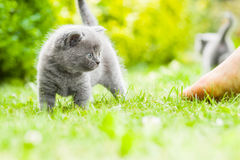 Kitten. Young grey kitten lying in the garden on fresh green grass Stock Image