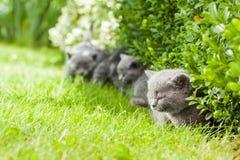 Kitten. Young grey kitten lying in the garden on fresh green grass Royalty Free Stock Photo