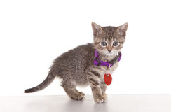 Kitten. Against white background with collar and tags Stock Image