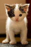 Kitten at 3 weeks old looking curious at you Royalty Free Stock Images