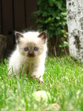 Kitten. An adorable white and blue eyed kitten in the grass Royalty Free Stock Images
