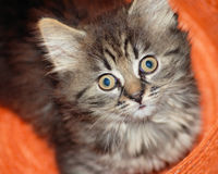 Kitten. Striped kitten looking at camera stock photos