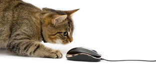 Kitten. Plays with the mouse Stock Photo