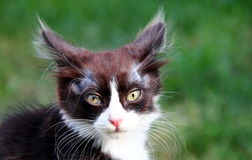 Kitten. Portrait of cute black-and-white kitten on green natural background Stock Photography