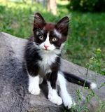 Kitten. Cute black-and-white kitten sitting on a stone in the park Royalty Free Stock Photo