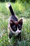 Kitten. Cute black-and-white kitten walking in green grass Stock Images