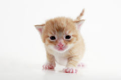 Kitten. Three weeks old kitten on white background royalty free stock photos