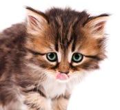 Kitten_4 sveglio (19) .jpg Immagini Stock Libere da Diritti