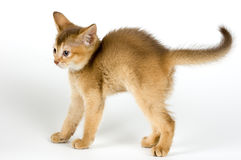 Kitten. The kitten for the first time has seen a naked cat Royalty Free Stock Image