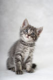 The kitten. Has curiously inclined a head Royalty Free Stock Photo