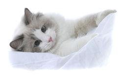 Kitten. Ragdoll kiten Stock Photo