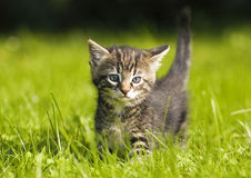 Kitten. Little kitten playing on the grass close up Stock Photography