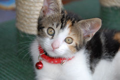 Kitten. A cute domestic kitten with a red neckband and small red bell, looking at the camera royalty free stock photo