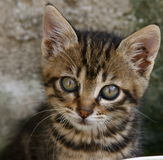 Kitten. Portrait of cute grey kitten stock photo