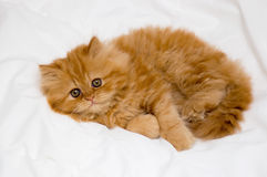 Kitten. Persian kitten on a light background royalty free stock photography