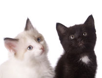 Kitten. Black and white kitten isolate on white Stock Photos