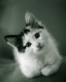 Kitten Royalty Free Stock Photography
