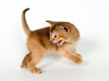Kitten. On a neutral background Royalty Free Stock Photography