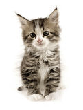 Kitten. On a white background Royalty Free Stock Images