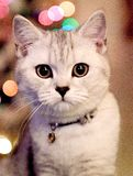 Kitten. With a fancy collar Royalty Free Stock Photo