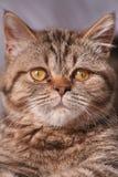 Kitten. Choclate tabby kitten Stock Photos