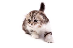 The kitten Royalty Free Stock Image