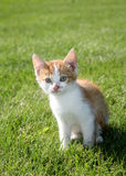 Kitten. A six year old kitten sitting on lawn Stock Image