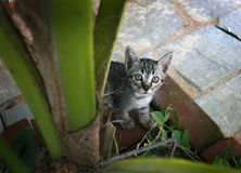 Kitten. Sits in a lawn and looks at a spectator Stock Image