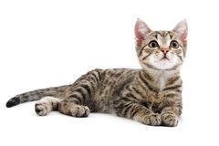 Kitten. Grey striped kitten on a white background Royalty Free Stock Photo