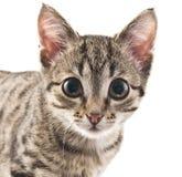 Kitten. Grey striped kitten on a white background Royalty Free Stock Photos