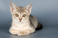 Kitten of Abyssinian breed. In studio Stock Images