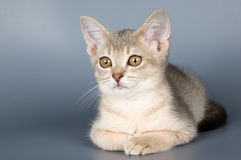 Kitten of Abyssinian breed Royalty Free Stock Photo