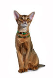 Kitten of the abyssinian breed. Royalty Free Stock Photo