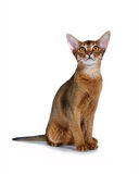 Kitten of the abyssinian breed. Royalty Free Stock Images