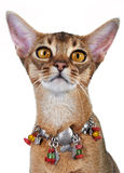 Kitten of the abyssinian breed. Stock Photo