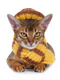 Kitten of the abyssinian breed. Stock Photos