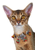 Kitten of the abyssinian breed. Royalty Free Stock Image