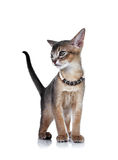 Kitten of the abyssinian breed. Royalty Free Stock Photos