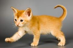 Kitten of Abyssinian breed. In studio Stock Photo
