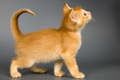 Kitten of Abyssinian breed. In studio Stock Photography