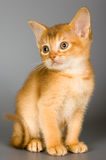 Kitten of Abyssinian breed Royalty Free Stock Photography