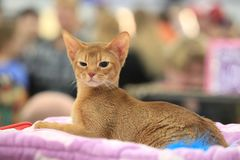 The kitten of the Abyssinian breed lies calmly and squintes royalty free stock image
