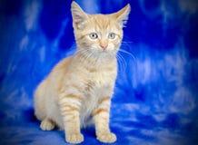 Kitten Adoption Portrait alaranjada imagem de stock