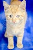 Kitten Adoption Portrait alaranjada imagens de stock royalty free