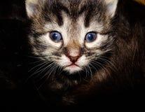 Kitten. Adorable kitten with blue eyes Stock Photography