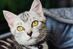 American shorhair cute little kitten. Kitten, adorable cats and stock image