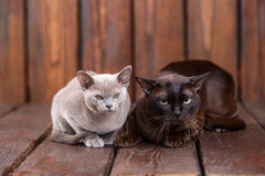 Kitten and adult cat breed European Burmese, father and son sitting on wooden background. Grey and brown, color. Kitten and adult cat breed European Burmese Stock Photography
