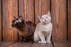 Kitten and adult cat breed European Burmese, father and son sitting on wooden background. Grey and brown, color. Kitten and adult cat breed European Burmese Royalty Free Stock Images
