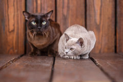 Kitten and adult cat breed European Burmese, father and son sitting on wooden background. Grey and brown, color. Kitten and adult cat breed European Burmese Stock Photo