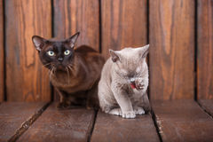Kitten and adult cat breed European Burmese, father and son sitting on wooden background. Grey and brown, color. Kitten and adult cat breed European Burmese Royalty Free Stock Photos